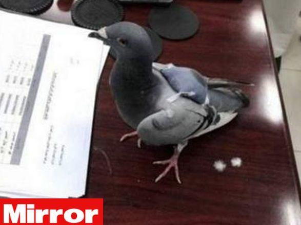 """La polizia arresta un piccione: """"Trovato con oltre 170 pasticche di ecstasy"""